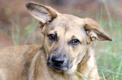 Chiot de chien de race mélangé par berger Image stock