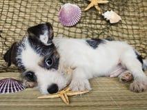 Chiot de chien terrier avec des Seashells photographie stock libre de droits