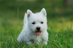 Chiot de chien terrier blanc de montagne occidentale Images stock