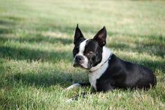 Chiot de chien terrier de Boston Photographie stock libre de droits