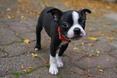 Chiot de chien terrier de Boston Images libres de droits