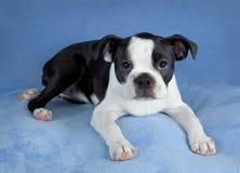 Chiot de chien terrier de Boston Photo stock