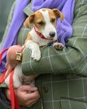Chiot de chien terrier de Jack Russell étant bercé Photo stock