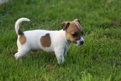 Chiot de chien terrier de Jack Russell Image stock
