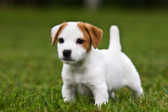 Chiot de chien terrier de Jack Russell Photos stock