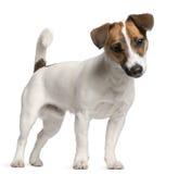 Chiot de chien terrier de Jack Russell, 7 mois Photos stock