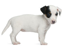 Chiot de chien terrier de Jack Russell, 7 semaines de  Photo stock