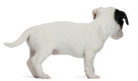 Chiot de chien terrier de Jack Russell, 7 semaines de  Image libre de droits
