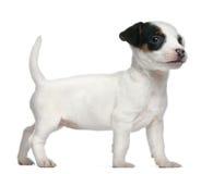 Chiot de chien terrier de Jack Russell, 7 semaines de  Photographie stock