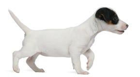 Chiot de chien terrier de Jack Russell, 7 semaines de, marchant Photos stock