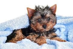 Chiot de chien terrier de Yorkshire Image stock