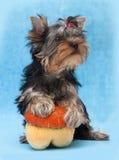 Chiot de chien terrier de Yorkshire Photographie stock