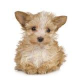 Chiot de chien terrier de Yorkshire (2 mois) Photographie stock libre de droits