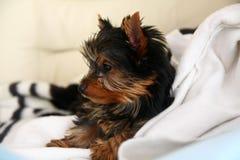 Chiot de chien terrier de Yorkshire Images libres de droits