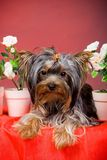 Chiot de chien terrier de Yorkshire Photo stock