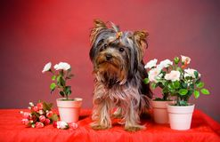 Chiot de chien terrier de Yorkshire Photos stock