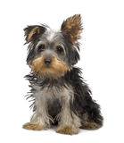Chiot de chien terrier de Yorkshire (3 mois) Photographie stock