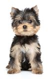 Chiot de chien terrier de Yorkshire Photo libre de droits