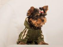 Chiot de chien terrier de Yorkshire Photos libres de droits