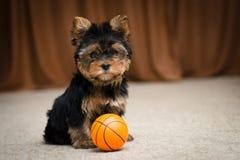 Chiot de chien terrier de Yorkshire Photo stock