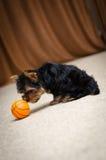 Chiot de chien terrier de Yorkshire Photo libre de droits