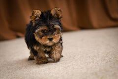 Chiot de chien terrier de Yorkshire Images stock