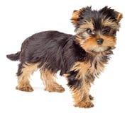 Chiot de chien terrier de Yorkshire d'isolement Photographie stock libre de droits