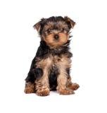 Chiot de chien terrier de Yorkshire d'isolement sur le blanc image stock