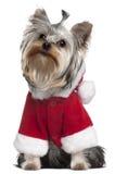 Chiot de chien terrier de Yorkshire dans l'équipement de Santa Photo libre de droits