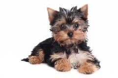 Chiot de chien terrier de Yorkshire sur un fond blanc Image stock