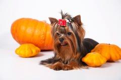 Chiot de chien terrier de Yorkshire sur un fond blanc Images libres de droits
