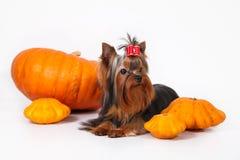 Chiot de chien terrier de Yorkshire sur un fond blanc Photos stock