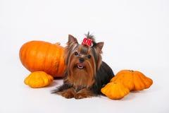 Chiot de chien terrier de Yorkshire sur un fond blanc Images stock