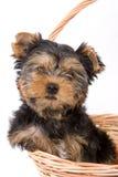 Chiot de chien terrier de Yorkshire (York) Image libre de droits