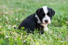 Chiot de chien terrier tibétain Image stock
