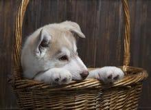 Chiot de chien de traîneau sibérien dans le panier sur le fond en bois Image libre de droits
