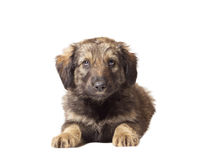 Chiot de chiens Photo stock