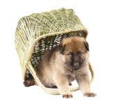 Chiot de chiens de berger d'isolement sur le fond blanc Photo stock