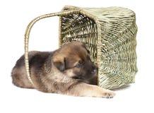 Chiot de chiens de berger d'isolement sur le fond blanc Images stock