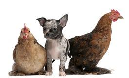 Chiot de chiwawa agissant l'un sur l'autre avec poules Image stock