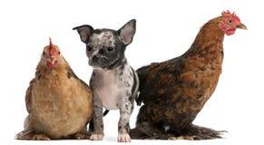 Chiot de chiwawa agissant l'un sur l'autre avec poules Photos libres de droits