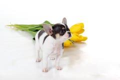 Chiot de chiwawa avec le bouquet des tulipes jaunes Images stock