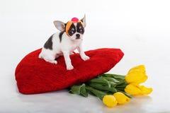 Chiot de chiwawa avec les fleurs et le coeur rouge Photographie stock
