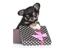 Chiot de chiwawa dans le boîte-cadeau Photographie stock