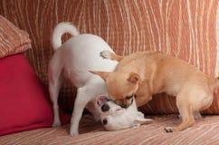 Chiot de chiwawa de cannelle jouant avec le chiwawa blanc sur le sofa Image stock