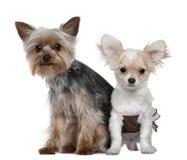 Chiot de chiwawa et chien terrier de Yorkshire Image stock