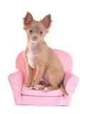 Chiot de chiwawa se reposant dans un fauteuil rose Images stock
