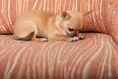 Chiot de chiwawa se trouvant sur le sofa, 4 mois femelles images stock