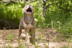 Chiot de coyote près de repaire photographie stock libre de droits