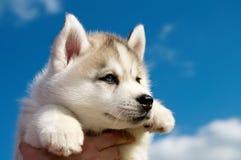 Chiot de crabot de chien de traîneau sibérien Photographie stock